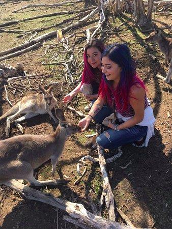 Cowes, Australien: Kangaroos