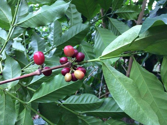 Lilikoi Inn: Coffee on the property