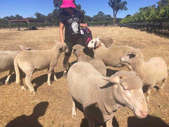 Lancefield, Austrália: lovely sheeps