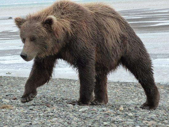 Alaska Bear Adventures: Con la pancia piena esce dall'acqua e viene verso di noi