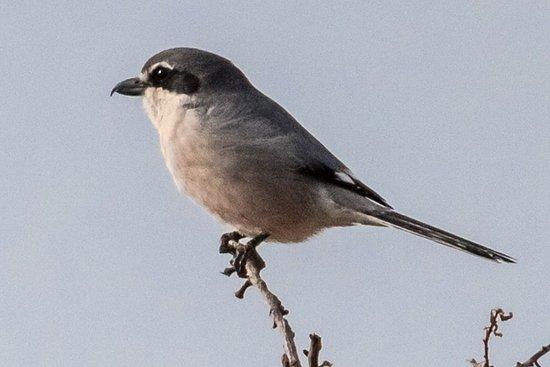 Province of Granada, Spain: Iberian Grey Shrike – taken near Granada on trip with Mick Richardson