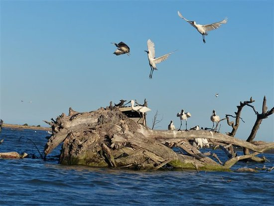 Driftwood Retreat & Eco-Tours: Royal spoonbills Jan 2017 Wairau estuary.
