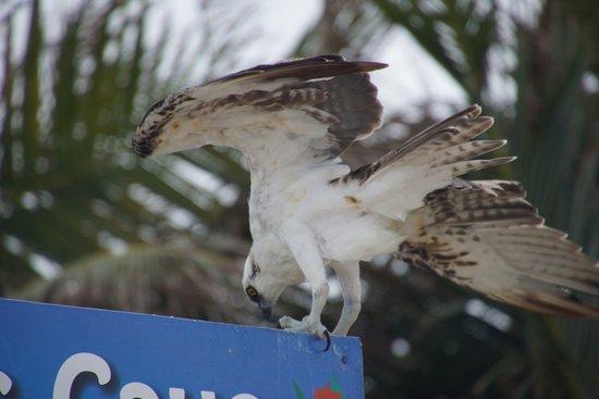 Goff's Caye: aigle pêcheur
