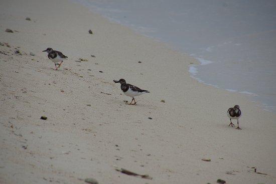 Goff's Caye: petits oiseaux