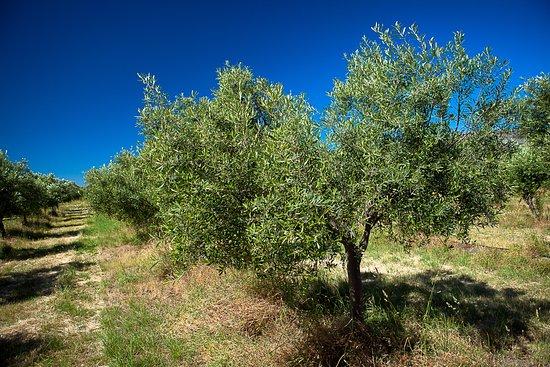 Campania, Australia: Picual olive tree.