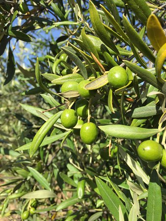 Campania, Australien: Manzanillo olives growing in late summer.