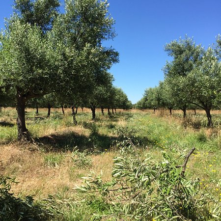 Campania, Australien: Olive grove during pruning.