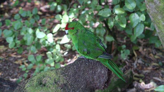 Otorohanga, New Zealand: parrot