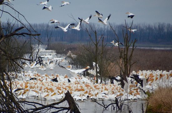Linton, IN: American White Pelicans