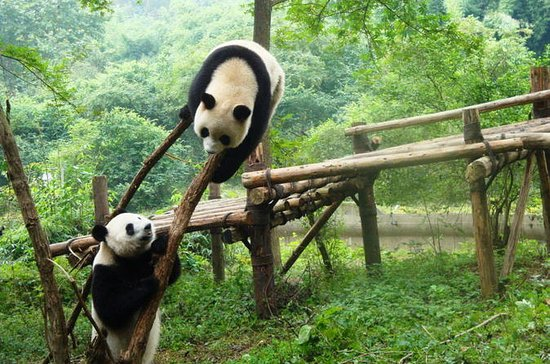 Tour privado: Chengdu Panda Research...
