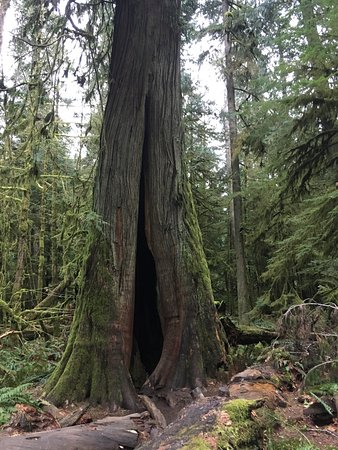 Порт-Алберни, Канада: Huge trees