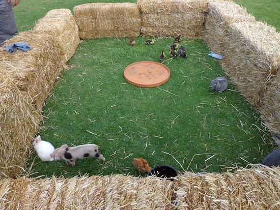 baby pigs rabbits chicken goat etc picture of mundo granjero