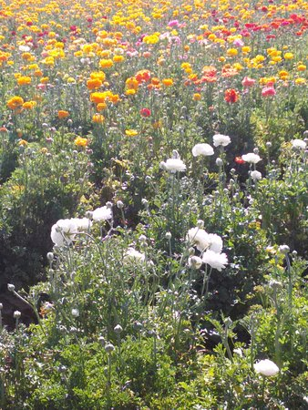 Carlsbad Flower Fields: Flowers