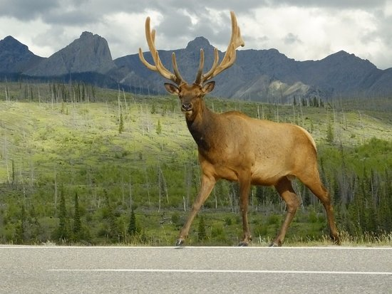 Jasper Tour Company: A magnificent stag crossing the highway
