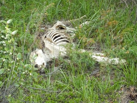 Jasper Tour Company: Remains of wolf
