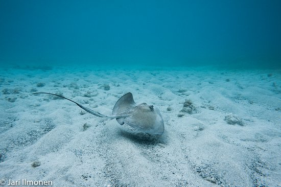 Culebra Divers: Souther stingrays were commonly seen both when diving and snorkelling