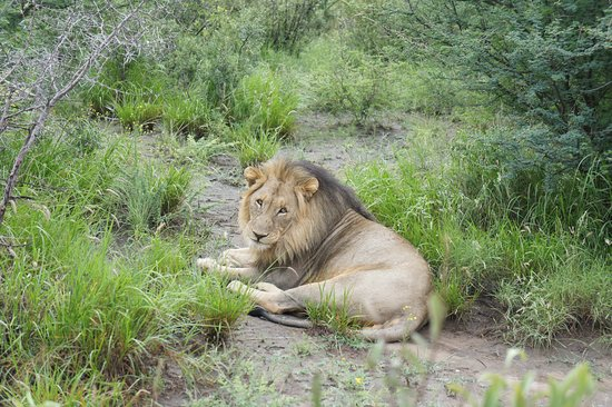 Zeerust, South Africa: Lion - totally relaxed.
