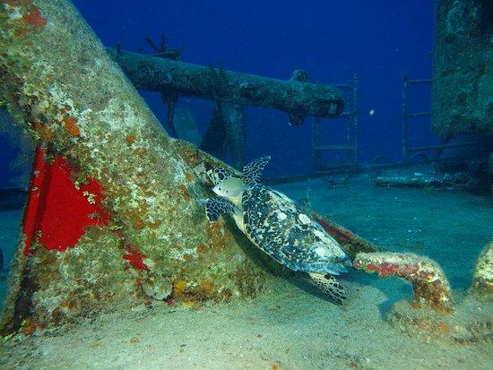 Kittiwake Shipwreck & Artificial Reef: Turtle on board!