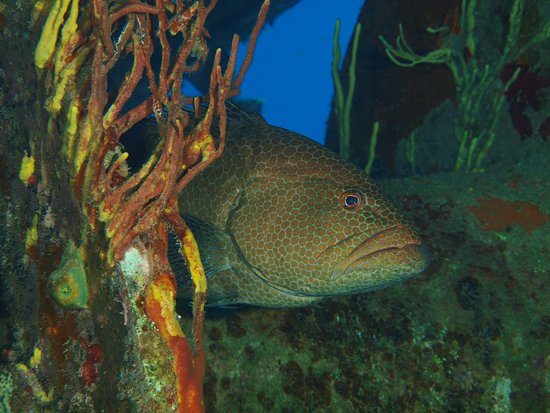 Kittiwake Shipwreck & Artificial Reef: Grouper lurking in the ship