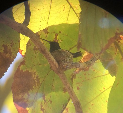 Samara Trails: Hummingbird brooding on a nest