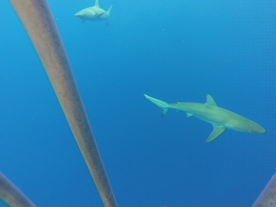 Hawaii Shark Encounters: close up of sharks swimming around the cage