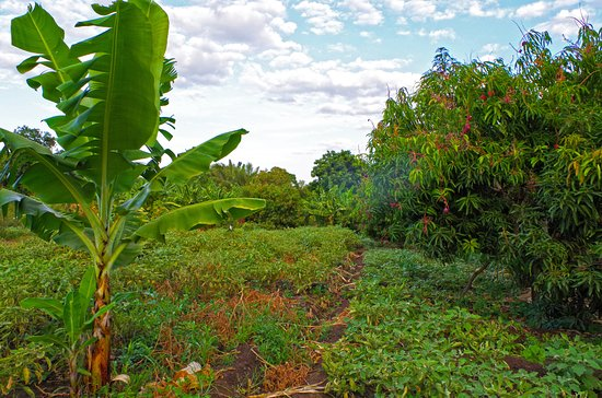 Murera Springs Eco Lodge: Plantations near the hotel, where the fresh fruits come from