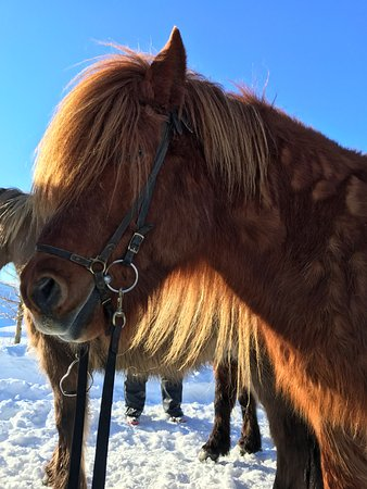 Laxnes Horse Farm: beautiful horses and a great ride!