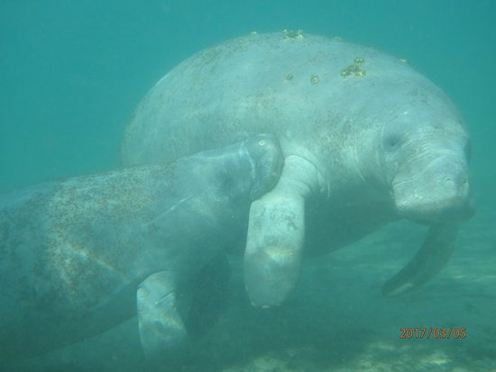 manatee eating moss off of anchor rope picture of manatees in