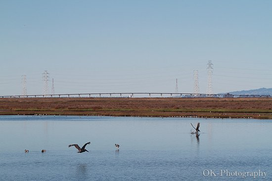 Palo Alto Baylands Nature Preserve: pelican hunting for fish