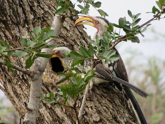 Mkuze, Южная Африка: Yellow-billed Hornbills