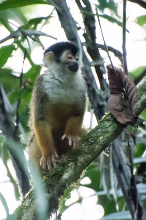 Danta Corcovado Lodge : Squirrel monkey seen from our bungalow