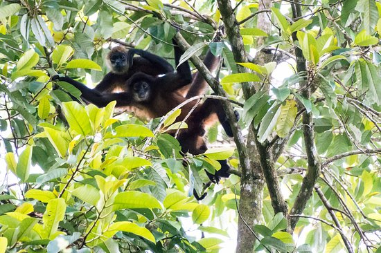 Golfito, Costa Rica: Spider monkeys from our Tree House deck