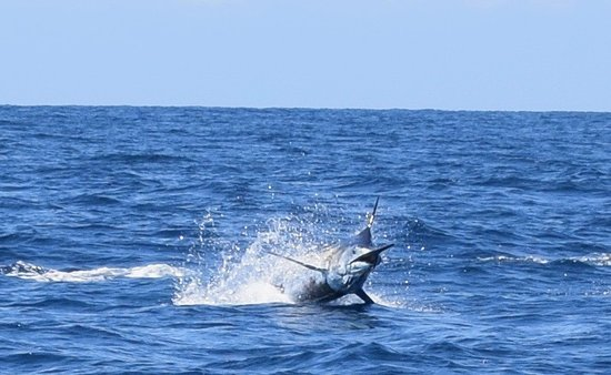 Golfo de Chiriqui National Park, Panama: Black Marlin