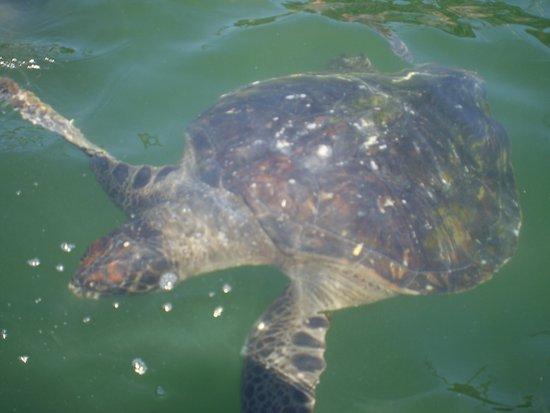 Piura, Peru: una gran tortuga junto a mi bote.....tan cerca que se podría tocar