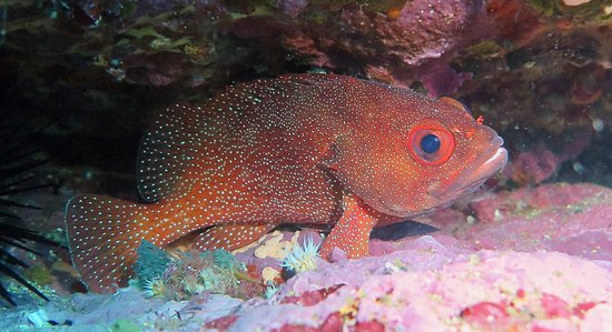 Yukon Dive: Toadstool grouper , you can see at Poor Knights islands