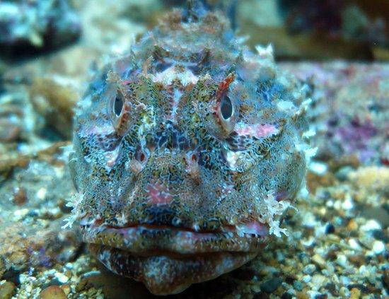 Yukon Dive: scorpionfish  or grandaddy hapuka