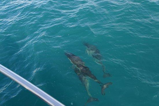 Falmouth, UK: Common dolphin