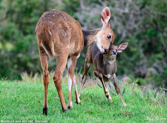 Shamwari Game Reserve Lodges: Bushbuck ewe and calf, Shamwari Game Reserve