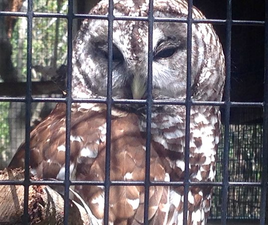 Peace River Wildlife Center: Barred Owl