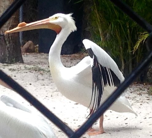 Peace River Wildlife Center: White Pelican