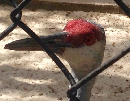 Peace River Wildlife Center: Sandhill Crane
