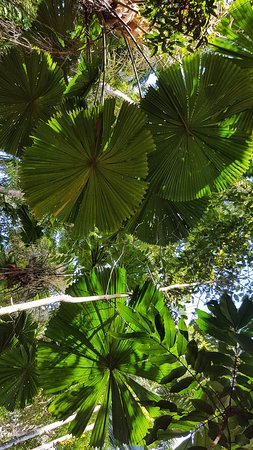 Daintree Region, Australia: Fan Palm