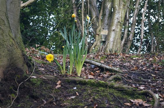 Crumlin, UK: Daffodils abound on the walk