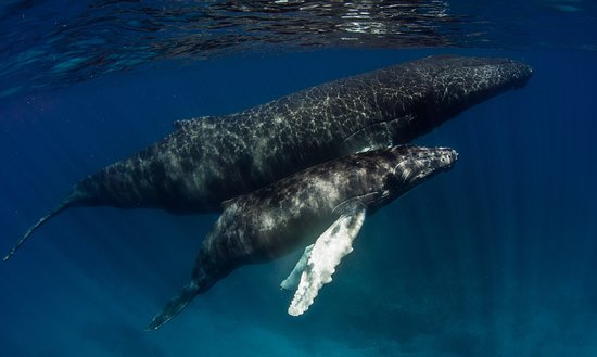 Tiny, Canada: The Magestic Humpback Whale