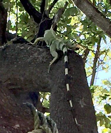Lake Monroe, Φλόριντα: Iguana