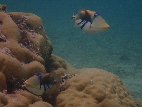 Le Morne Beach: Picasso Triggerfish