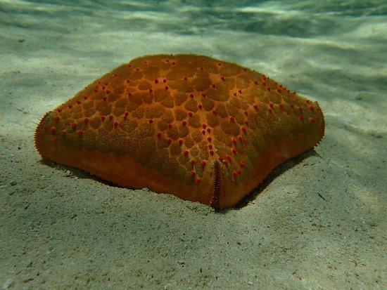 Le Morne Beach: Cushion Seastar