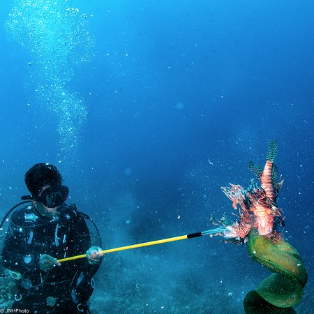 Turneffe-øerne, Belize: Feeding Lion Fish to Moray Eel