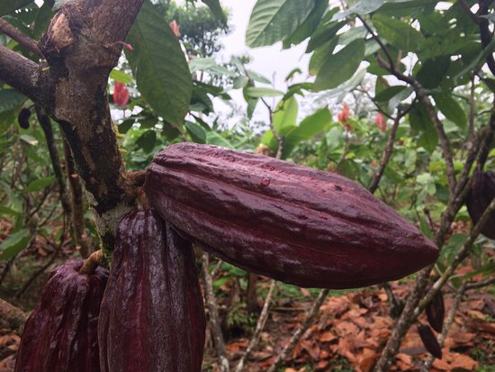La Anita Rainforest Ranch: kakao