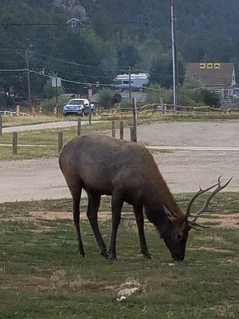 The Estes Park Resort: Wild guests just wander in for lunch -lovely!